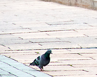 Rock Pigeon (Columba livia). Moscow, Russia. Image taken with a Nikon N1V2 camera and 10-100 mm VR lens.