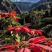 Poinsettas along the winding road to the village of Cilaos. This spectacular road winds along cliffs for over an hour, providing a harrowing ride and spectacular views.