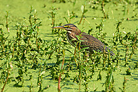 Green Heron Butorides virescens Green Cay Nature Area Delray Beach Florida USA