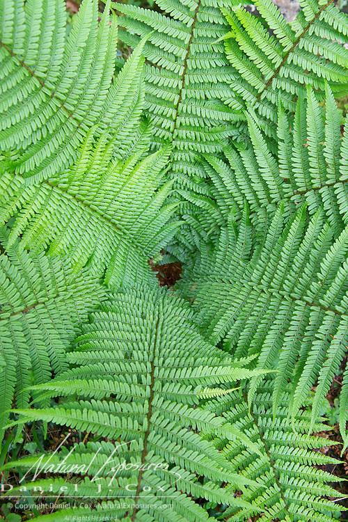 Ferns growing in Killarney National Park, Ireland.
