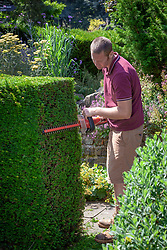 Cutting an evergreen yew hedge with an electric hedge trimmer.  Taxus baccata - Common Yew, English yew