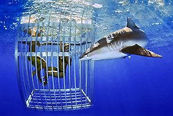 Galapagos shark, Carcharhinus galapagensis, and snorkelers in cage, showing nictitating membrane, offshore, North Shore, Oahu, Hawaii, USA, Pacific Ocean, MR