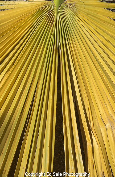 A colorful yellow and green palm frond with dramatic converging lines lays dying on the desert floor.