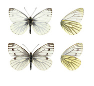 Green-veined White - Pieris napi.  Wingspan 45-50mm. Adult recalls a Small White but has striking veins on wings: these are dark on upperwings, and greyish-green on underwings. Double-brooded: adult flies in spring and again in mid-summer. Larva is green with tiny white spots; feeds on Hedge Mustard, Garlic Mustard and related plants. Locally common, sometimes seen in gardens, but mainly associated with verges and open margins and rides in woodland.