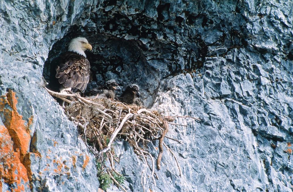 Alaska, Aleutian Islands. Cliff-nesting Bald Eagle with chicks.
