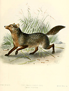 """The short-eared dog (Atelocynus microtis [Here as Canis microtis]), also known as the short-eared zorro and small-eared dog, is a unique and elusive canid species endemic to the Amazonian basin. This is the only species assigned to the genus Atelocynus From the Book Dogs, Jackals, Wolves and Foxes A Monograph of The Canidae [from Latin, canis, """"dog"""") is a biological family of dog-like carnivorans. A member of this family is called a canid] By George Mivart, F.R.S. with woodcuts and 45 coloured plates drawn from nature by J. G. Keulemans and Hand-Coloured. Published by R. H. Porter, London, 1890"""