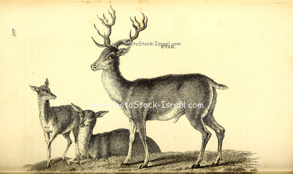 Stag from General zoology, or, Systematic natural history Vol II Part 2 Mammalia, by Shaw, George, 1751-1813; Stephens, James Francis, 1792-1853; Heath, Charles, 1785-1848, engraver; Griffith, Mrs., engraver; Chappelow. Copperplate Printed in London in 1801 by G. Kearsley