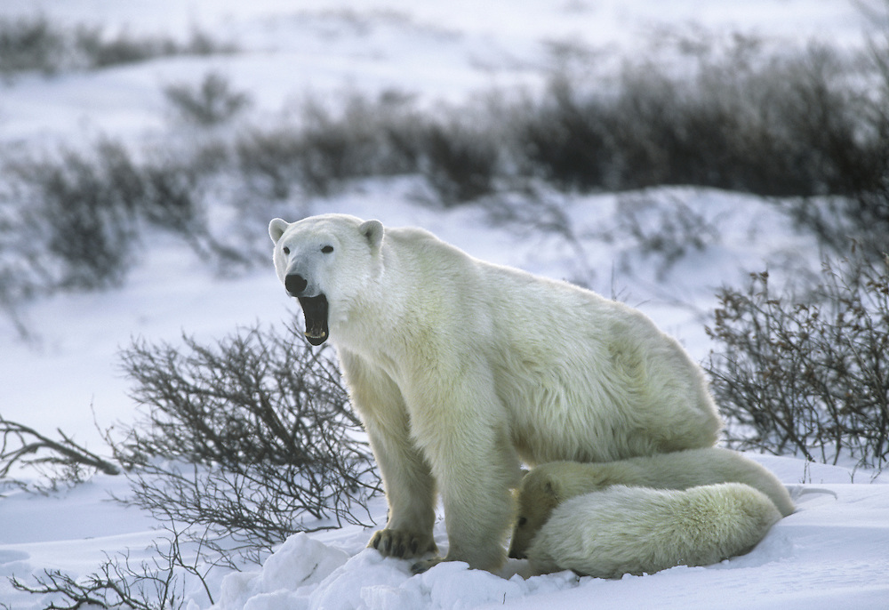 Polar Bear Ursus maritimus Length 2.5-3m, weight 350-650kg The largest land predator, quite capable of competent swimming. Fur is white, often stained yellowish. Feeds mainly on seals and adapted to life associated with pack ice.
