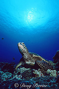 green sea turtle, Chelonia mydas, Turtle Pinnacles, Kaloko Honokohau, Kona, Hawaii, United States ( Central Pacific Ocean )