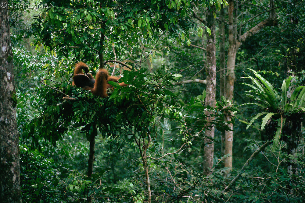 Bornean Orangutan (Pongo pygmaeus).  Adult male lying in his sleeping nest in the late afternoon in a small tree in the rain forest..Gunung Palung National Park, West Kalimantan, Borneo, Indonesia.  Endangered Species (IUCN Red List: EN)