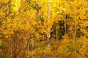 Golden Aspen Cluster in Grand Teton National Park