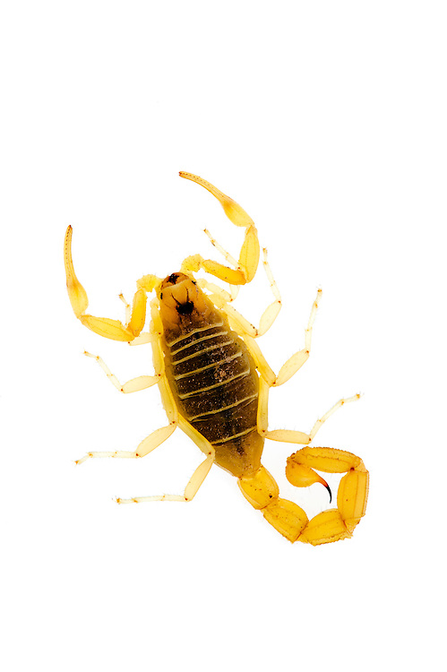 European scorpion. IFTE-NB-004925; Niall Benvie; portfolio; European scorpion; Buthus; occitanus; Europe; Spain; Alicante; arachnid pincer invertebrate tail sting; vertical; danger poisonous; translucent; brown white; controlled; field under stone; 2008; January; winter; strobe backlight; JBR