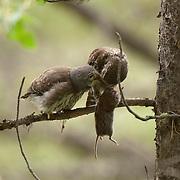 Northern Pygmy Owl (Glaucidium gnoma) fledglings feeding in Montana.