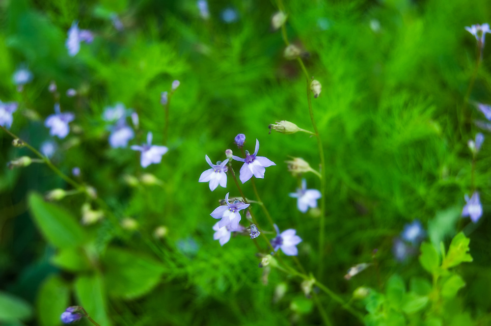 The tiny bay lobelia flowering in the CREW Marsh Hiking Trails in SW Florida.
