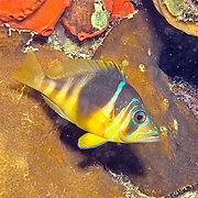 Barred Hamlet inhabit reefs in Tropical West Atlantic; picture taken Utila, Honduras.