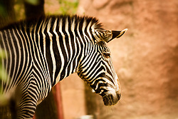Grevy's Zebra at the Saint Louis zoo.