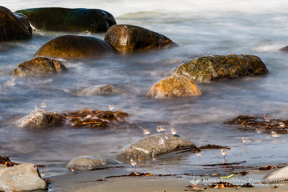 Norway, Sele. Rocky coastline, long exposure. A flock of Little Stint.
