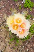Flowering yellow barrel Cactus (Ferocactus) in a cactus garden