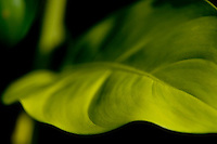 Close up image of one of the many beautiful leaf varieties in the Borneo rainforest.