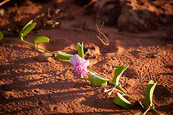 Ipomea growing on the beach at James Price Point north of Broome.