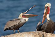 Brown Pelican in full breeding colors with open bill calls at another (Pelecanus occidentalis) La Jolla, California