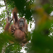 Orangutan mother and her baby in Tanjung Puting National Park. Central Kalimantan region, Borneo.