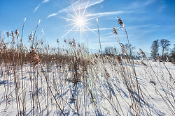Grass straw on snow field