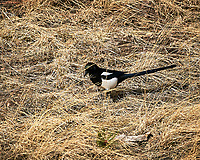Black-billed Magpie at Rocky Mountain National Park. Image taken with a Nikon D300 camera and 300 mm f/2.8 lens (ISO 200, 300 mm, f/8, 1250 sec).