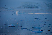 Two minke whales surface in iceberg littered waters in the Antarctic Peninsula, seven miles south of the Errera channel..