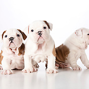 20110824Bulldogs