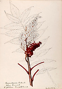 """Sketchbook No. 10 - Water-color sketches of plants of North America and Europe [graphic], Painted between June 1888 to September 1910 by Helen Sharp. Eighteen albums of water-color sketches by Helen Sharp of flowering plants and shrubs common to the United States, especially New England, as well as to Bermuda and parts of Europe, dated between June 1888 and Sept. 1910. Sketches in water-color and ink on paper (26 x 18 cm. or smaller) include botanical captions in Latin, along with Sharp""""s notes on the common name and physical characteristics of each plant, and location and date of drawing. There is also a table of contents at the front of each sketchbook. The first 16 albums contain sketches of plants common in New England, in towns of Massachusetts such as Nantucket, Taunton, Boston, No. Andover, Marblehead, Hingham, Gloucester; Maine (York, Sorrento); New Hampshire (Surrey), and Connecticut. Volume 17 contains sketches of plants made by the artist while traveling in Switzerland, Italy, England, and France, while v. 18 contains sketches of tropical fruits and flowers of Bermuda, completed during Sharp""""s visits of 1892, 1893, and 1903."""