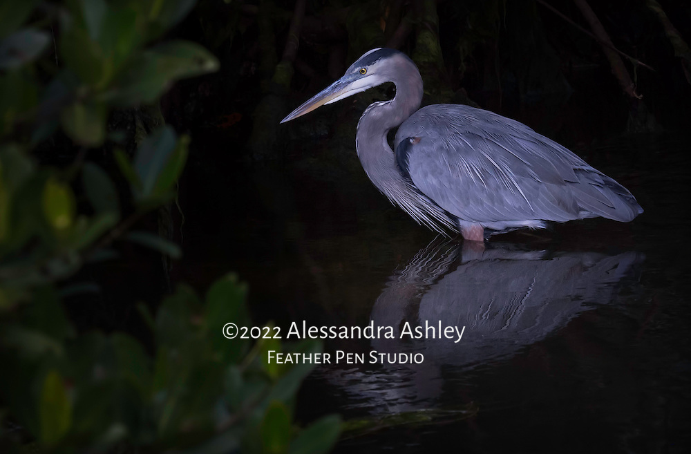 Great blue heron (Ardea herodias) with reflection, stands still as statue while fishing among mangroves. Ding Darling NWR, Sanibel Island, FL. Image published in Best Shots feature of Wild Planet magazine, Issue 28. Republished in portfolio feature, Wild Planet Issue 47/Sept. 2017.