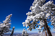 Rime ice on pines above Lake Arrowhead in the San Bernardino Mountains, San Bernardino National Forest, California USA