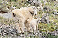 Mountain Goats, East End of Rundle, Alberta