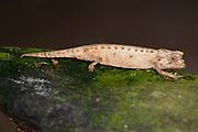 Dwarf Chameleon, Brookesia exarmata, Marozevo, Madagascar, Madagascar, IUCN Red Data List, Endangered, Appendix II of CITES