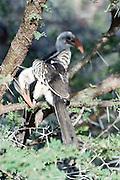 Kenya, Samburu National Reserve, Kenya, A couple of Red-billed Hornbill Tockus erythrorhynchus on a tree