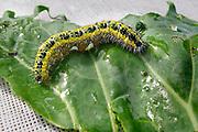 Nederland, Ubbergen, 3-9-2010Rups van de vlinder de Kleine Vos op een groenteblad.Foto: Flip Franssen/Hollandse Hoogte