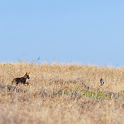 A coyote spots and gives a brief chase but is unable to catch a bird as it escapes from the brush in the hills of the Santa Monica Mountains.