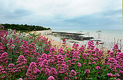 Red Valerian Flowers on clifftop, Centranthus ruber, Broadstairs, Kent