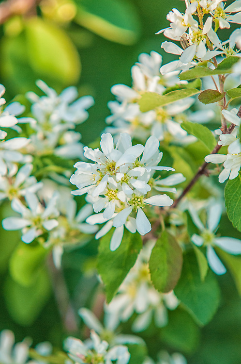 The western serviceberry is a native member of the rose family that grows as a small compact shrub. If North America was divided diagonally NW/SE - this service berry would be common in the NW part - especially in Western Canada. This one was photographed in its extreme southern range in Northwestern Wyoming.