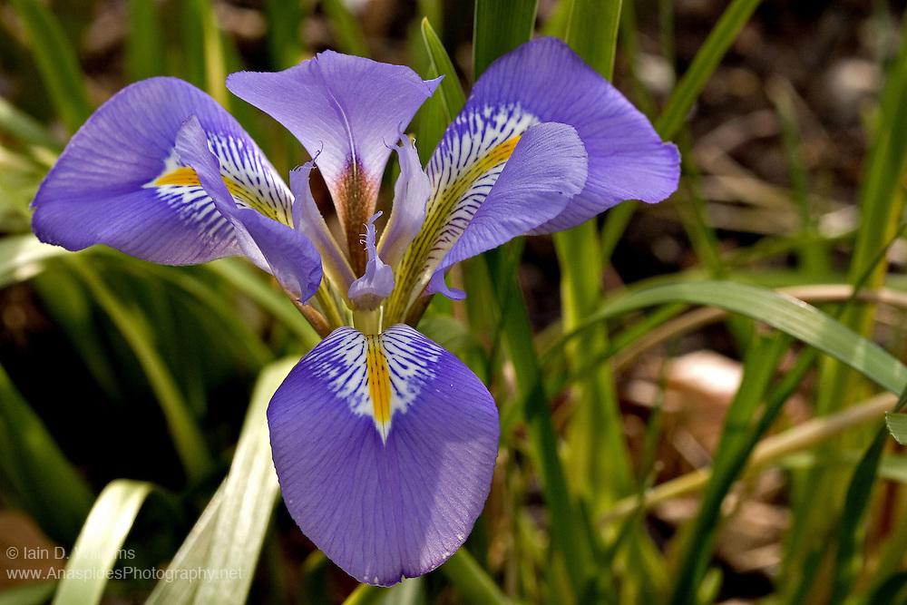 Purple Iris (Unglrius sp.) - Tasmania