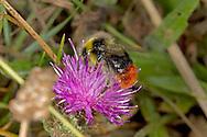 Red-tailed Bumblebee - Bombus lapidarius - male on Knapweed.