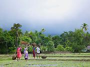 People working in a rice paddy during the monsoon season, Cochin, Kerala, India