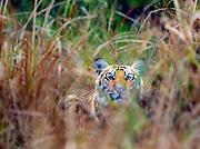 Young male Bengal tiger (Panthera tigris) hiding in the grass of Bandhavgarh National Park, Madhya Pradesh, India.