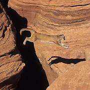 Mountain Lion (Felis concolor) jumping a crevasse in the slot canyons in northern Arizona. Captive Animal