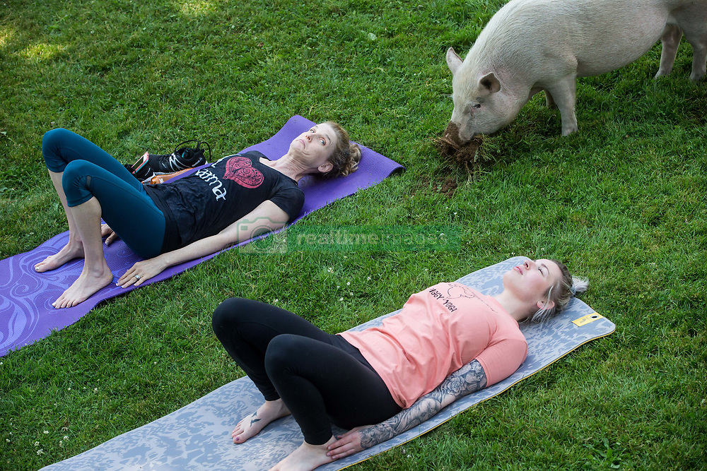 Tania Whelan, left, and Karilee Ennis participate in a yoga session with pigs during a charity fundraiser at The Happy Herd Farm Sanctuary, in Aldergrove, BC, Canada on Sunday June 24, 2018. The not for profit sanctuary held three yoga classes with four pigs on Sunday to raise money to help cover veterinarian costs. The pigs were born at the sanctuary when one of two neglected pot-bellied pigs seized by the SPCA unexpectedly gave birth to a litter of five after being taken in. Photo by Darryl Dyck/CP/ABACAPRESS.COM