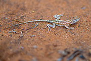 Three-eyed lizard (Chalarodon madagascariensis) from Berenty spiny forest, southern Madagascar.