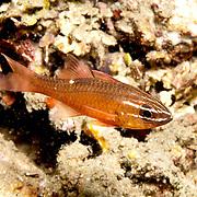 Mollucan Cardinalfish inhabit sheltered reefs. Picture taken Ambon, Indonesia.