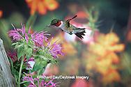 01162-05815 Ruby-throated Hummingbird (Archilochus colubris) male at Bee Balm (Monarda sp.) Shelby Co. IL