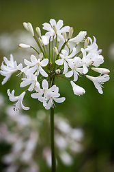 Agapanthus 'Headbourne hybrids' (White Form). African lily